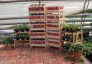 Нужны ли нам ягодные диковинки?