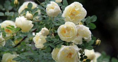 Посадка, уход, популярные сорта Чайной розы